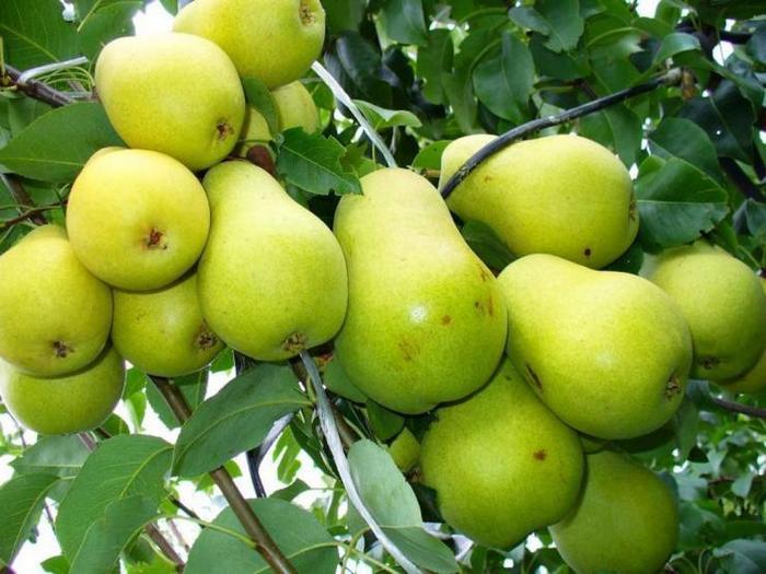 Груша как растение встречается в природе в виде куста и дерева