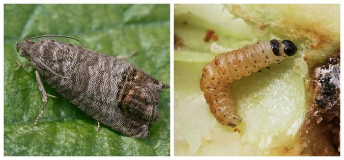 Из насекомых сорту обычно вредят жуки и плодожорки