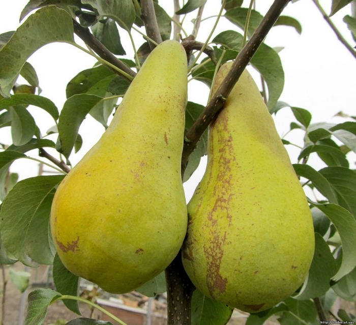 Конкорд - груша осеннего сорта, устойчивая к морозам и болезням