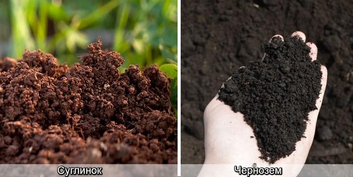 Лучшей почвой для дерева считается чернозем или суглинок
