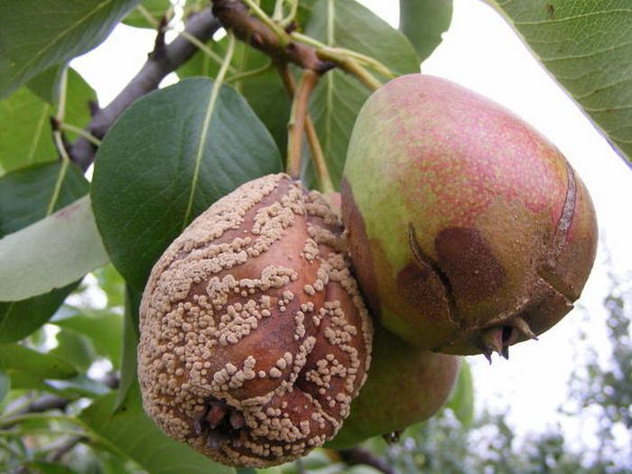 Моллиноз – грибок, проникающий внутрь плода через повреждения на кожуре