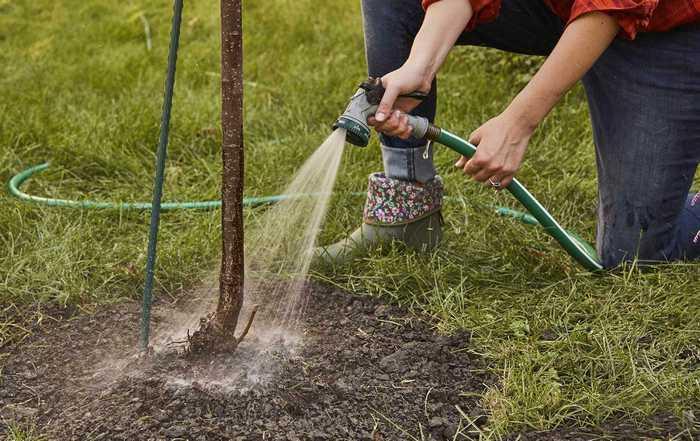 Молодые грушевые деревья требуют еженедельного полива