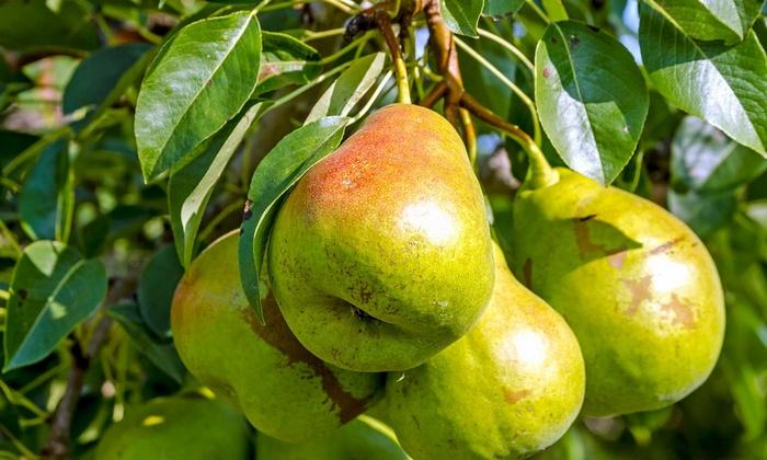 Осенний сорт груши Отрадненская зарегистрирован в 2000 году