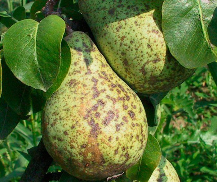 Парша ‒ одна из самых распространённых болезней плодовых деревьев