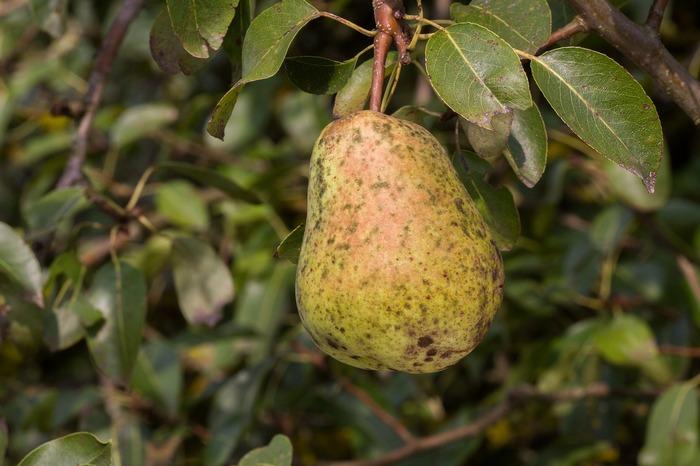 Парша – распространенное грибковое заболевание плодовых деревьев