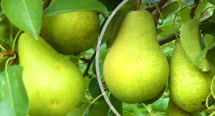Плоды груши - стандартной грушевидной формы