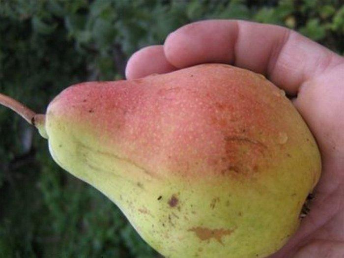 Плоды имеют правильную грушевидную форму