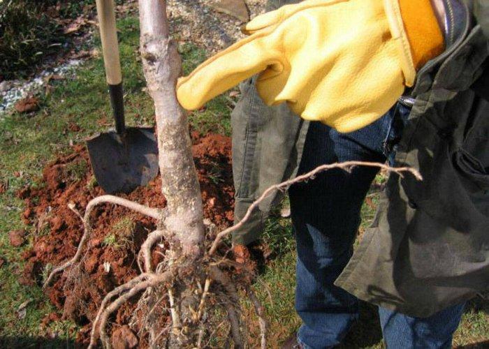 Посадку груши осуществляют осенью или весной