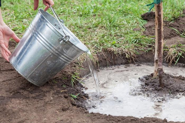 После посадки нужно полить саженец 2–3 вёдрами воды и замульчировать лунку