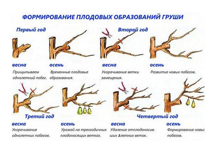 Правильная обрезка груши способствует хорошему плодоношению