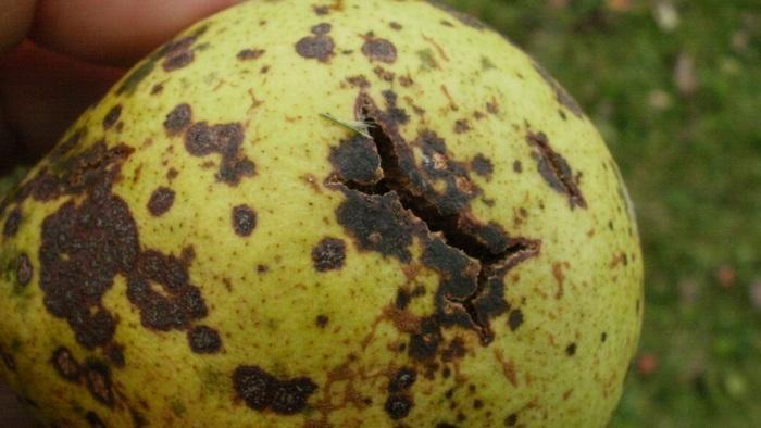 При чрезмерном загущении кроны груша может поражаться паршой