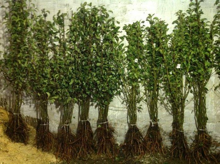 При выборе саженца необходимо отдавать предпочтение однолетнему растению