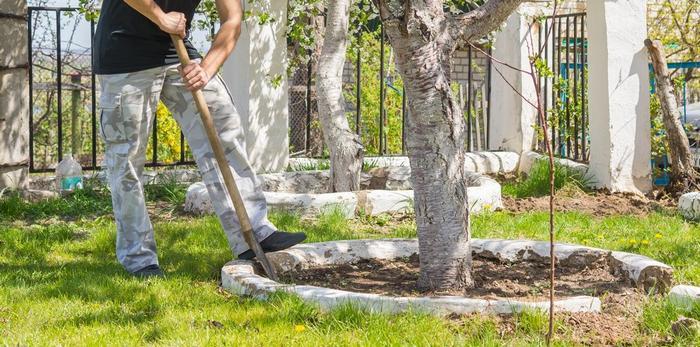 Рыхление приствольного круга позволит избежать заражения дерева