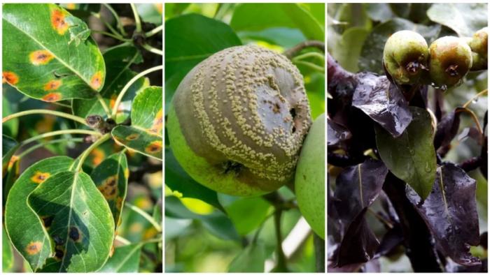 Ржавчина, плодовая гниль, бактериальный ожог для Лиры представляют угрозу