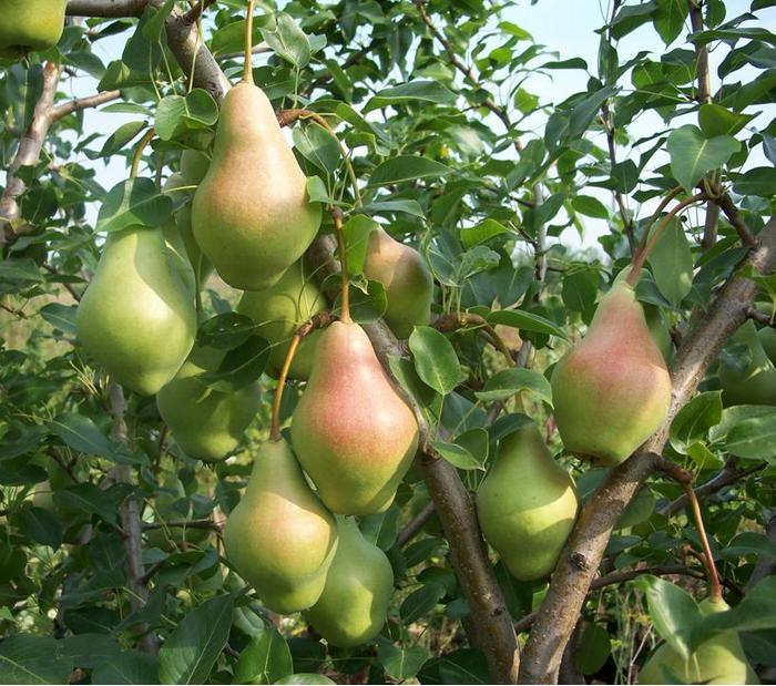 Самарская красавица первые хорошие урожаи приносит на пятый год жизни