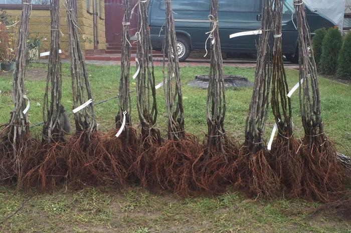 Саженцы нужно выбирать с хорошо развитыми корнями