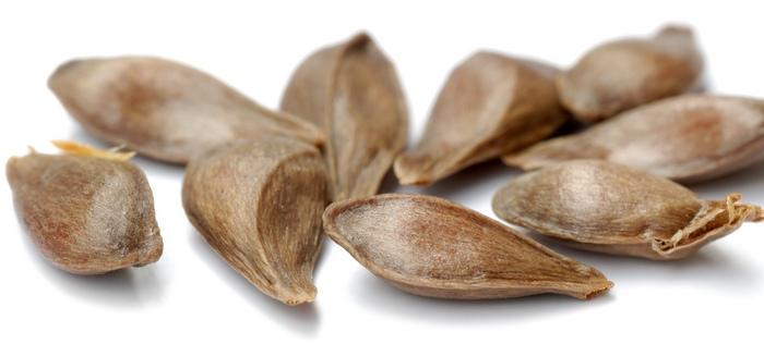 Семена для размножения груши заготавливают только от спелых плодов