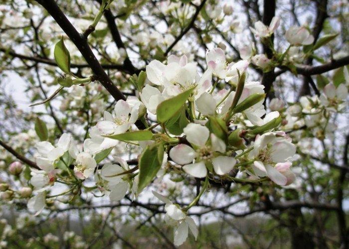 Цветение груши Первомайская приходится на конец мая