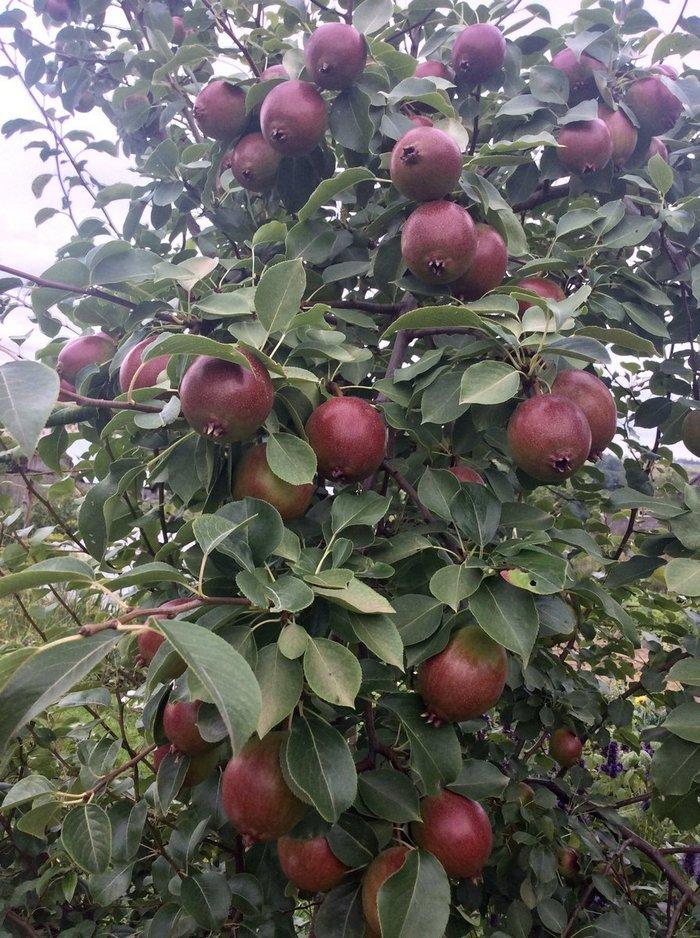 Урожайность с дерева достигает 40 кг