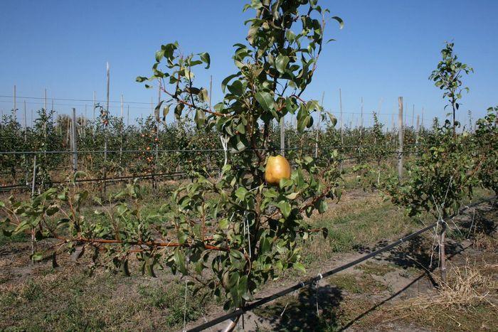 Увеличить урожайность поможет соседство с Повислой, Ларинской и Вековой