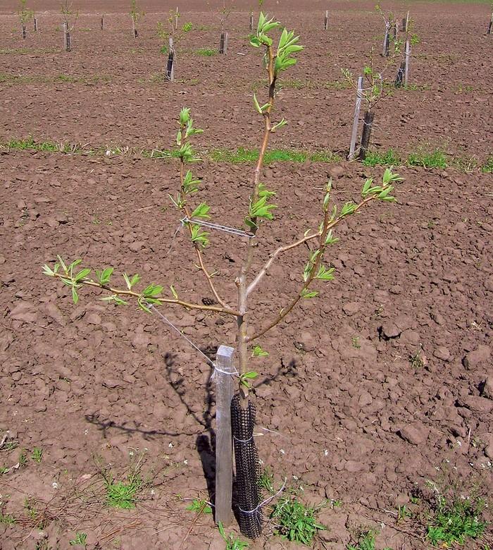 В качестве саженцев лучше всего приобретать 1-2-летние деревья