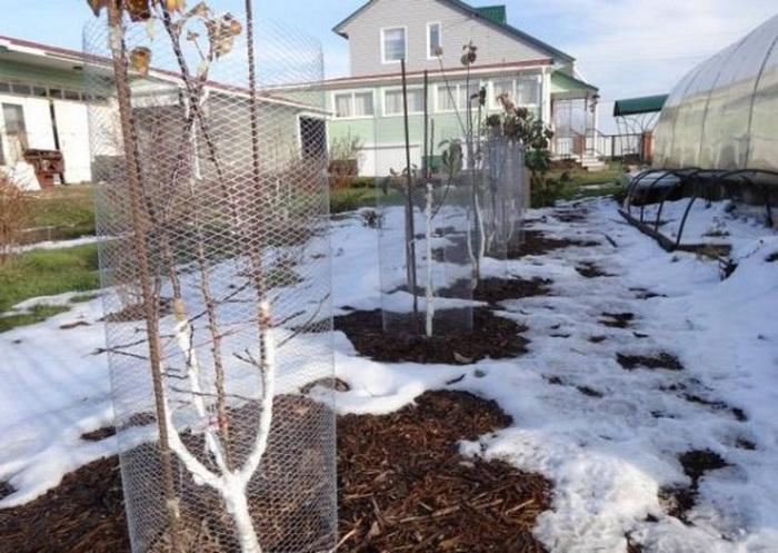 В зимнее время садовые участки в степных районах подвергаются набегам грызунов