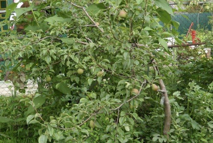 Высота грушевого дерева в среднем достигает 3–3,5 м