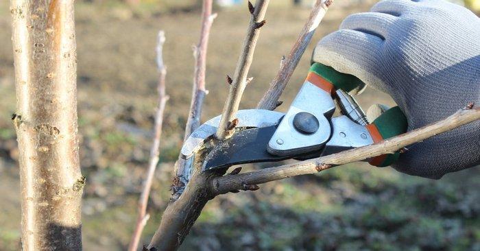 Активность роста и урожайность груши зависит от ухода за деревом