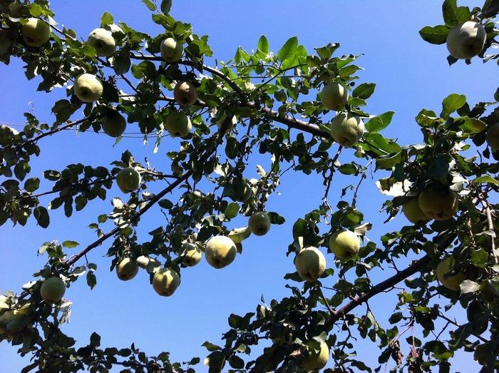 Дерево груши Дуля чаще всего очень высокое