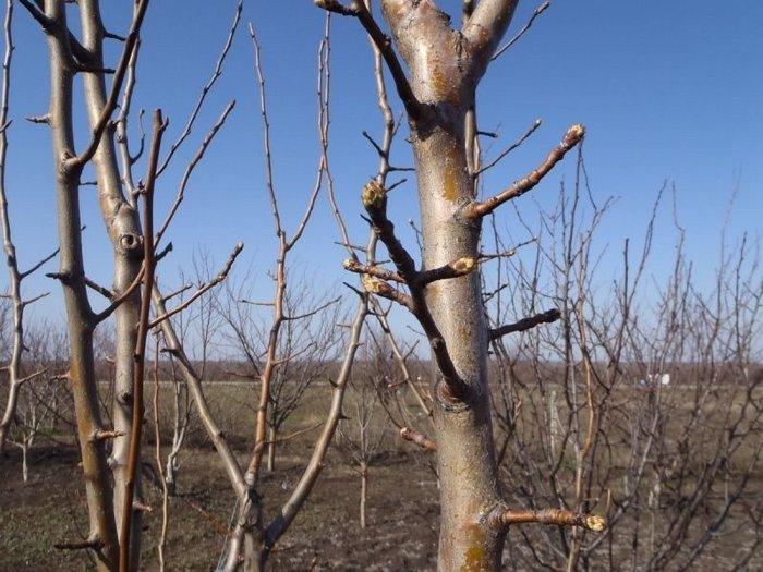 Дерево небольшого размера самостоятельно регулирует количество завязей