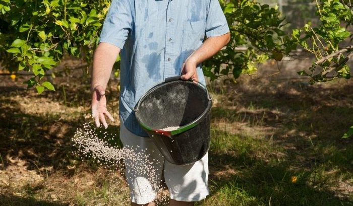 Дерево необходимо своевременно и правильно поливать, регулярно подкармливать и формировать