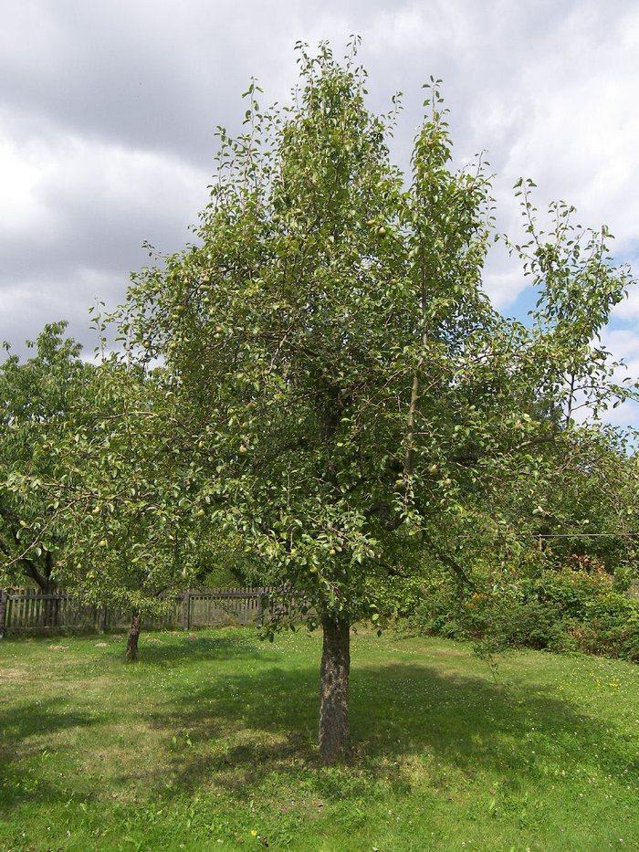 Дерево сорта груши Нарт быстрорастущее