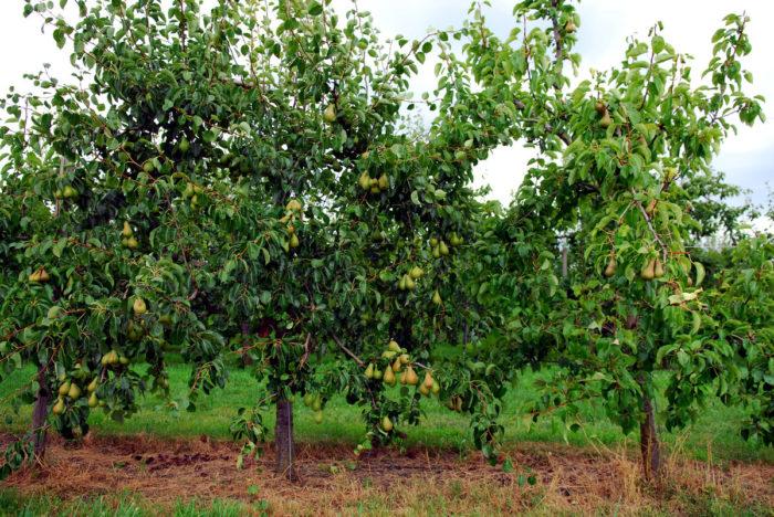 Дерево в высоту достигает до 3 метров