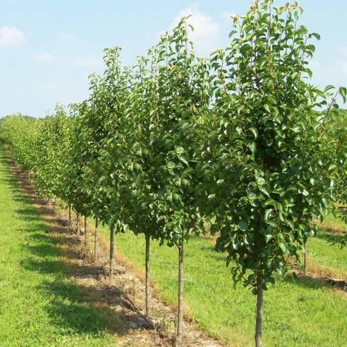 Деревья данного сорта очень чувствительны к микроклимату