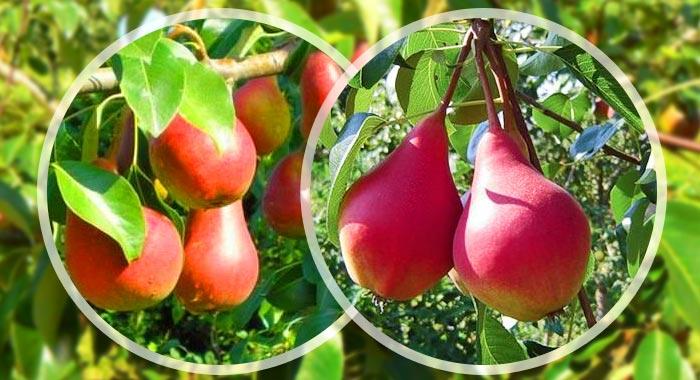Для хорошей урожайности необходимо высадить вблизи груши Забавы сорта-опылители