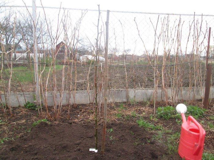 Для выращивания груши Вильямс необходимо подыскать светлое, солнечное место