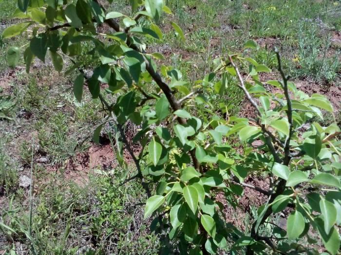Если в положенный срок не образовались цветы, следует проверить условия произрастания дерева