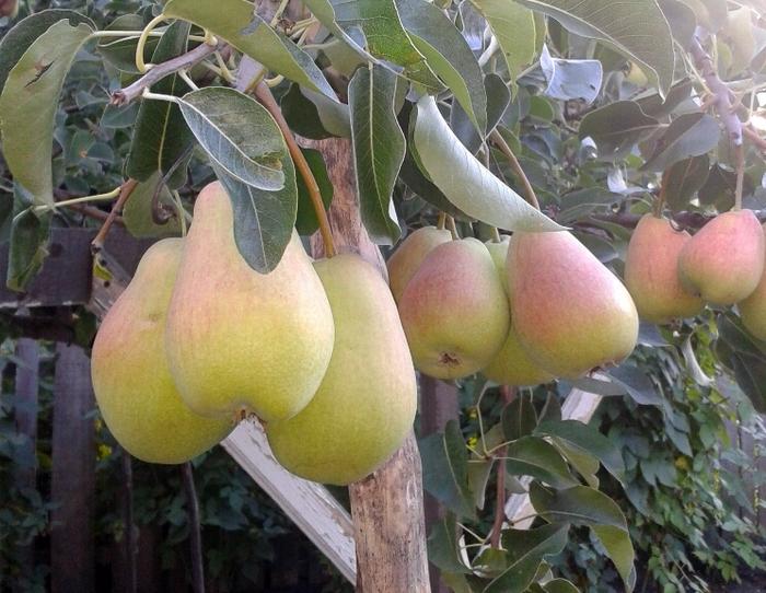 Груша Духмяная – это высокоурожайная культура