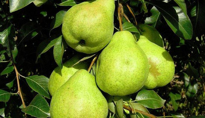 Груша Сильва ценится за её крупные фрукты и их высокие вкусовые качества
