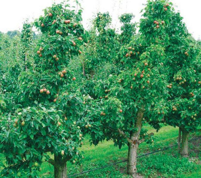 Груша Жуковская — среднерослое дерево с пирамидальной кроной