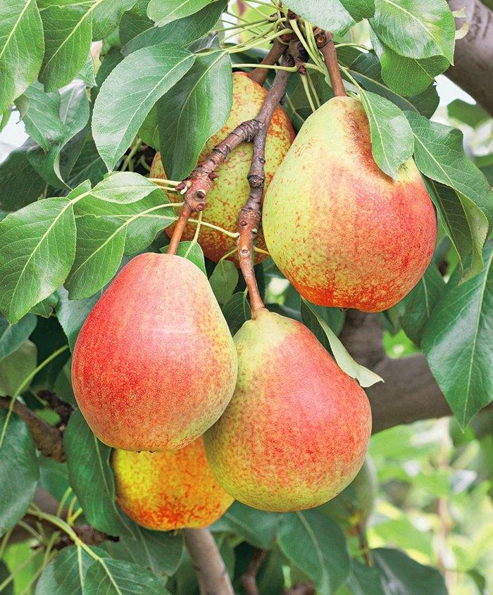 Каратаевская является одной из популярных раннеосенних груш