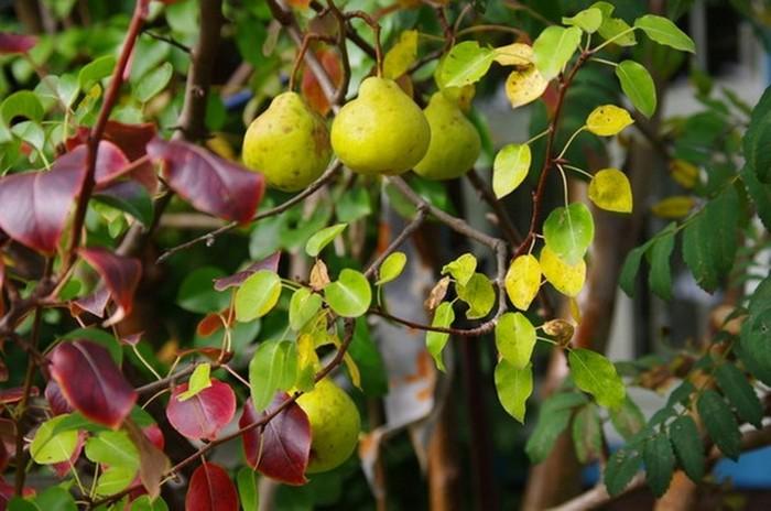 Красные листья у груши свидетельствуют о нарушениях