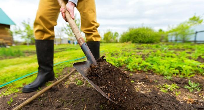 Леклерк любит солнечные места с плодородной почвой
