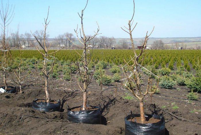 Молодые деревца приживаются быстро и без осложнений