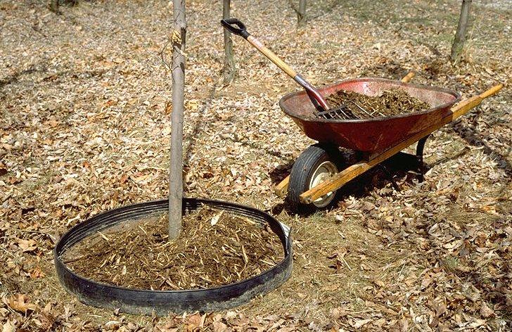 Мульчирование помогает удерживать влагу вокруг ствола