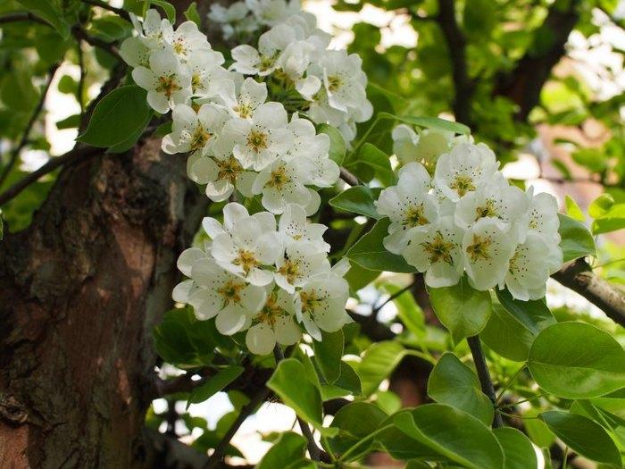 Первые плоды появляются на дереве на 4-й год активного роста