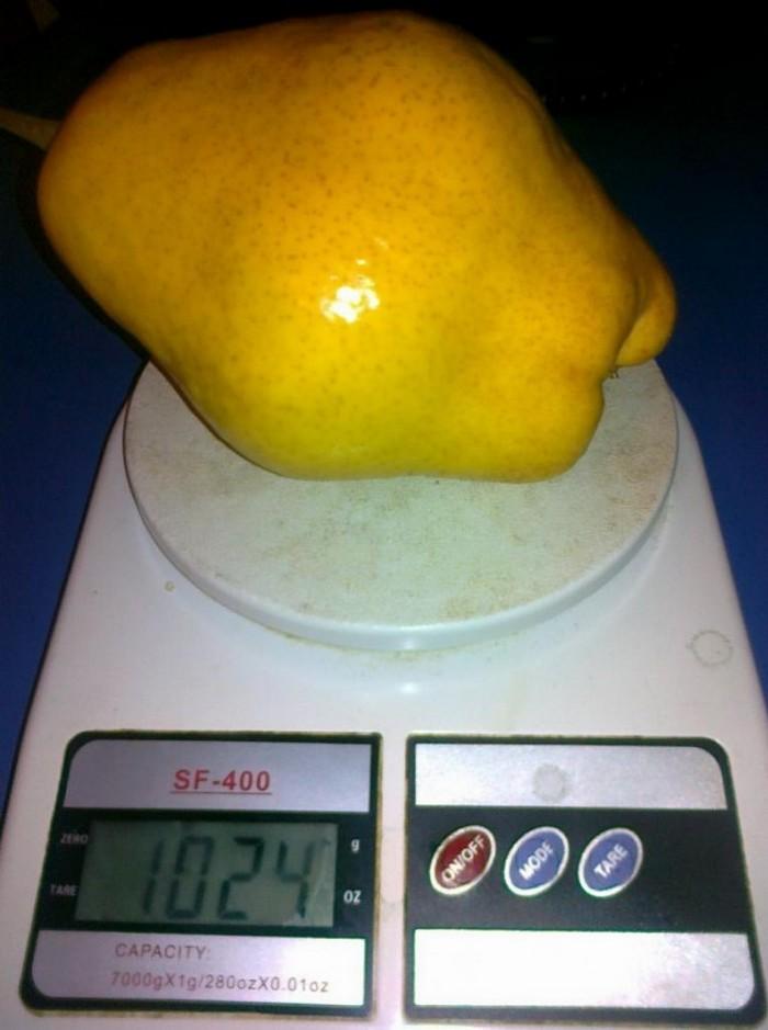 Плоды груши крупные, сравнительно одномерные