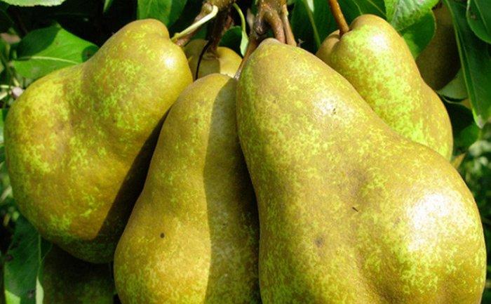 Плоды могут достигать массы 800 грамм
