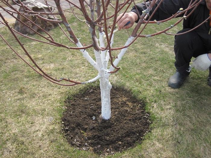 Побелка деревьев призвана защитить их от внешнего воздействия