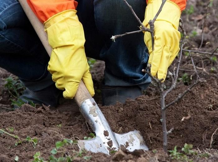Почва должна быть плодородной, рыхлой и слабокислой